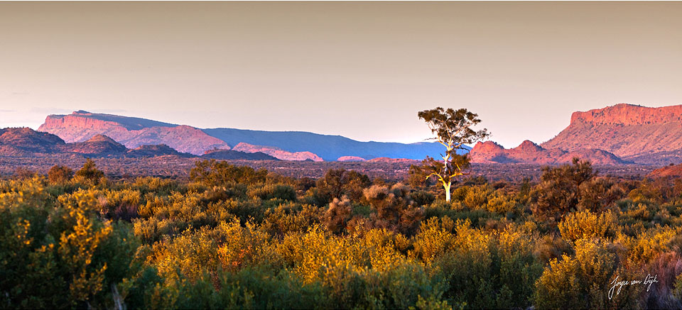 White-Ghost-Gum-Tree-in-the-west-MacDonnell-Ranges